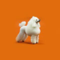 Poodle o Caniche?