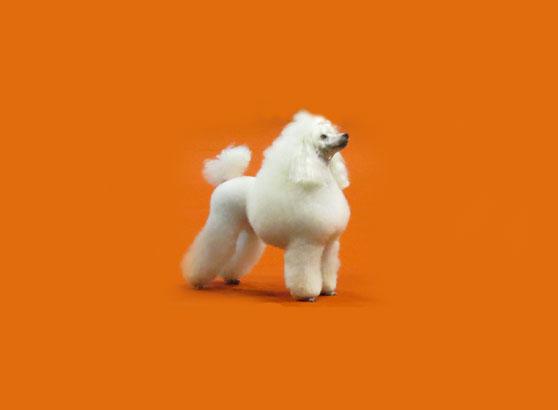 Poodle o Caniche